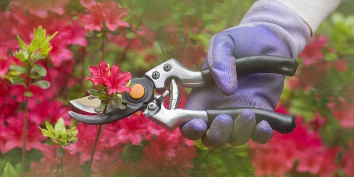 How to prune dusty miller