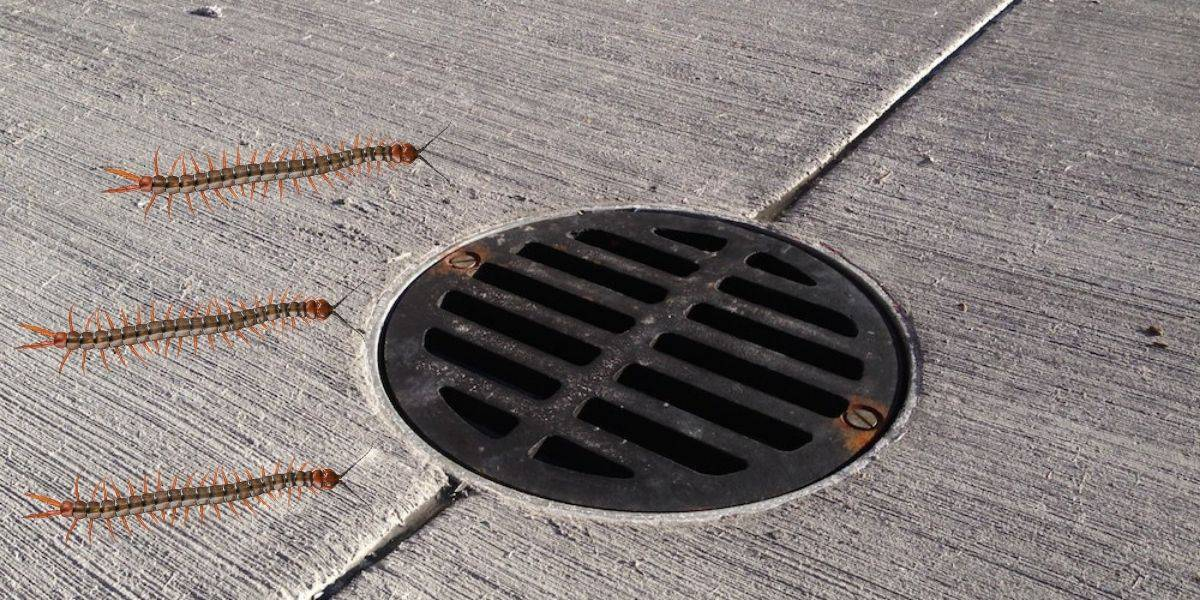 how to get rid of centipedes in drains
