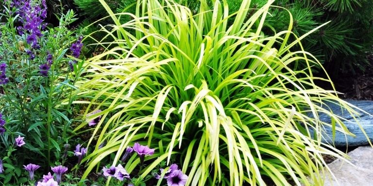 how to get rid of monkey grass