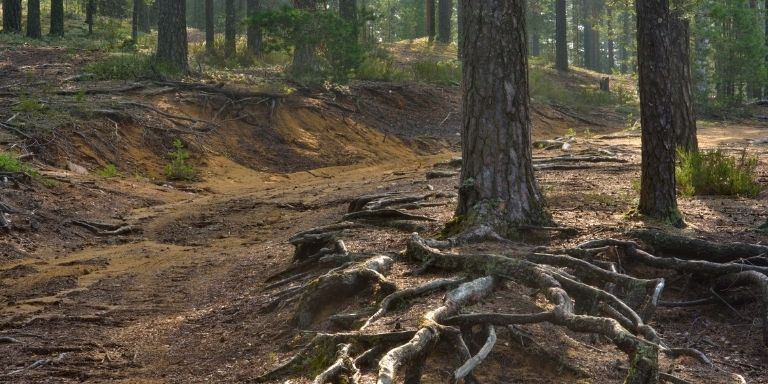 pine tree root systems